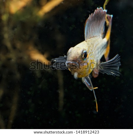 Apistogramma flabellicauda male displaying Inirida  #1418912423