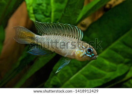 Apistogramma flabellicauda male displaying Inirida  #1418912429