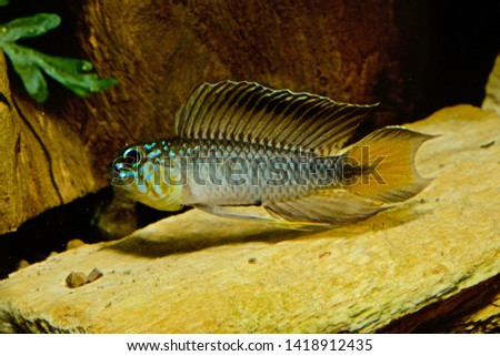 Apistogramma flabellicauda male displaying Inirida  #1418912435