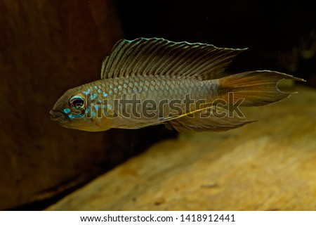 Apistogramma flabellicauda male displaying Inirida  #1418912441