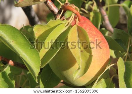 aple, rear, üzüm , tribe, grape,  Stok fotoğraf ©