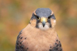 Aplomado Falcon in fall