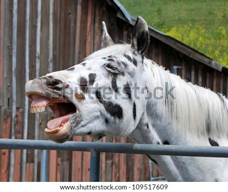 Appaloosa gelding yawning