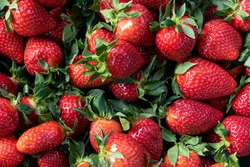 Appetizing large and ripe fruits of early strawberries