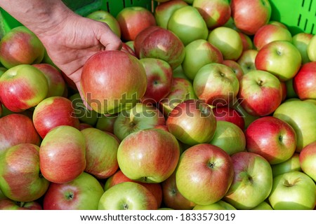 Appetizing Red Apples in the Plastic Fruit Storage Crate. Hand Holding a Red Apple. Apple Harvest and Infield Sorting of Apples. Apple Picking in Orchard.