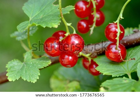 appetizing ripe berries of red currant on a branch of a bush in the garden close-up