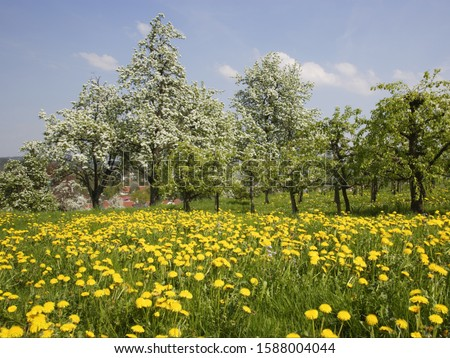 Apple and pear trees in flowered meadow