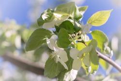 apple blossom, apple tree in garden