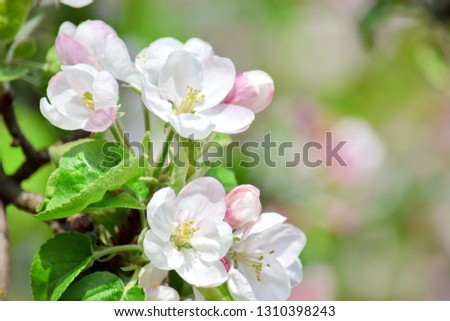 Apple Blossom Bloom Tree White Pink Stock Photo #1310398243