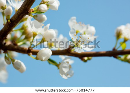 apple blossom in May over blue sky close up
