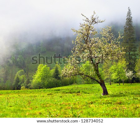 Apple blossom in spring in the mountains