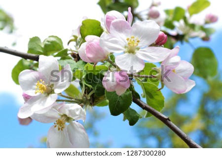 Apple blossom on apple tree against blue sky. Spring background #1287300280