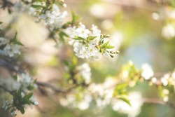 Apple blossom over nature background, beautiful spring flowers. White apple flowers on blue sky background