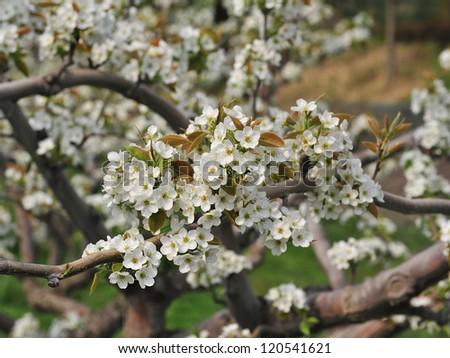 Apple blossom. South Korea, spring.