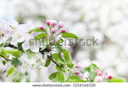 Apple blossom spring time sunny day garden landscape. Blossoming white pink petals fruit tree branch, tender blurred green bokeh background. Shallow depth of field
