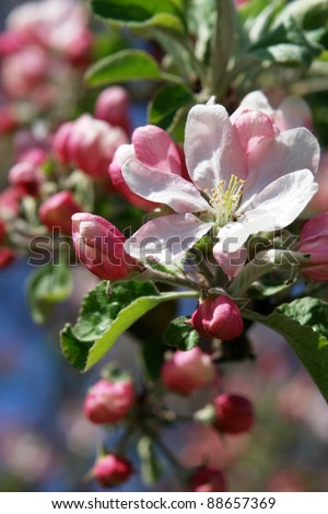 apple blossoms against blue sky on a sunny day