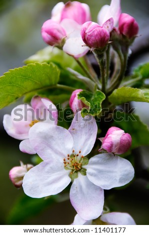 Apple blossoms in early spring