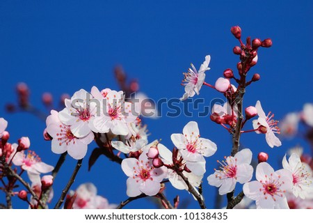 Apple blossoms in early spring. Shot in Larkspur, San Francisco Bay Area, California.