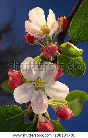 Apple blossoms in the evening sun