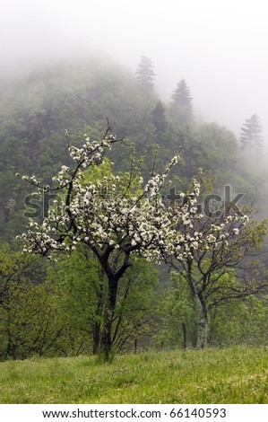Apple blossoms in the mist