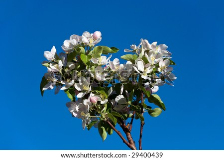 Apple Blossoms on Blue Sky
