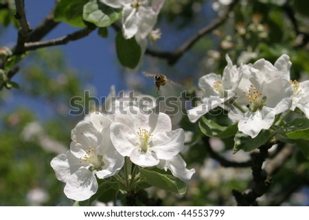 apple blossoms with a bee