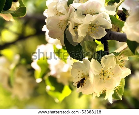 Apple blossoms with a bee at sunset