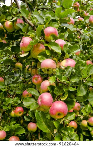 Apple branch droopy from ripe fruit. Nature autumn gifts.