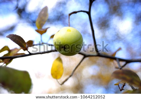 Apple. Branch of apple trees. Background with apple in autumn day. Selective focus and bokeh. Apple tree over nature background. Autumn background.  #1064212052