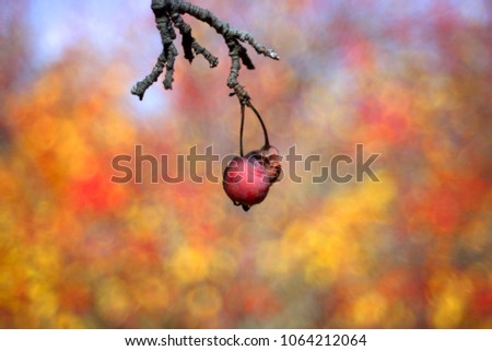 Apple. Branch of apple trees. Background with apple in autumn day. Selective focus and bokeh. Apple tree over nature background. Autumn background.  #1064212064