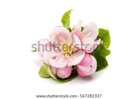 apple flower on a white background