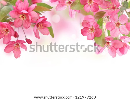Apple flowers,Spring blossom on white with copy space.