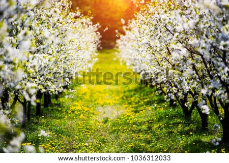apple garden, blossom on tree, spring time