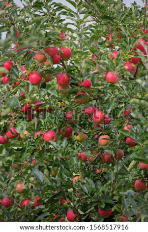 Apple garden full of riped red apples #1568517916