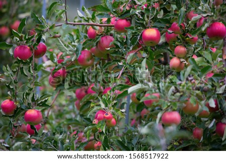 Apple garden full of riped red apples #1568517922