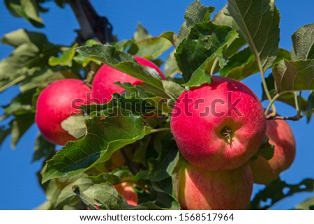 Apple garden full of riped red apples #1568517964