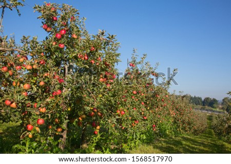 Apple garden full of riped red apples #1568517970