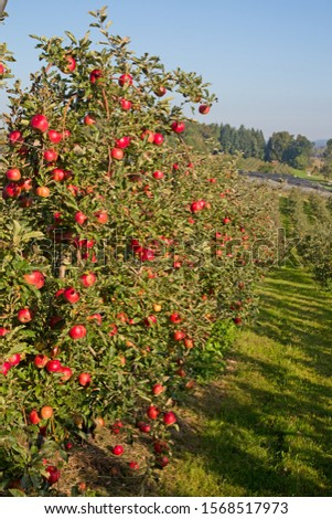 Apple garden full of riped red apples #1568517973
