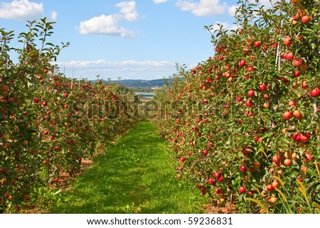 Apple garden full of riped red apples