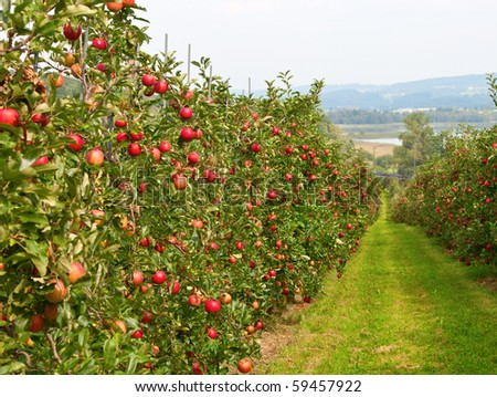 stock-photo-apple-garden-full-of-riped-red-apples-59457922.jpg