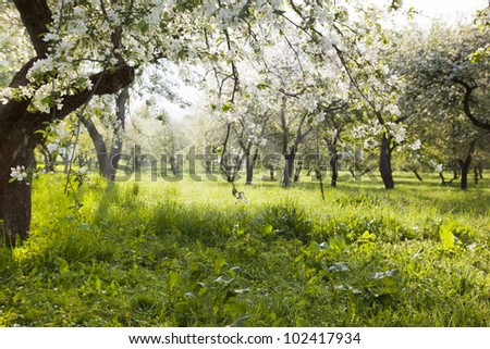 Apple garden in spring sunny morning