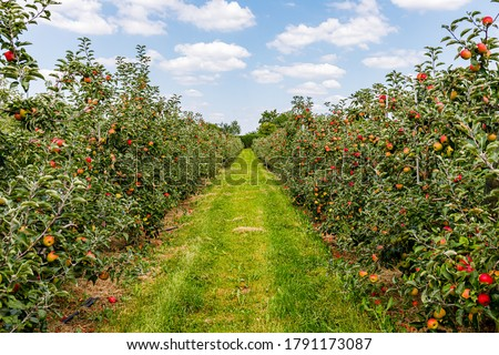 Apple garden row with red apples and green grass.  Сток-фото ©