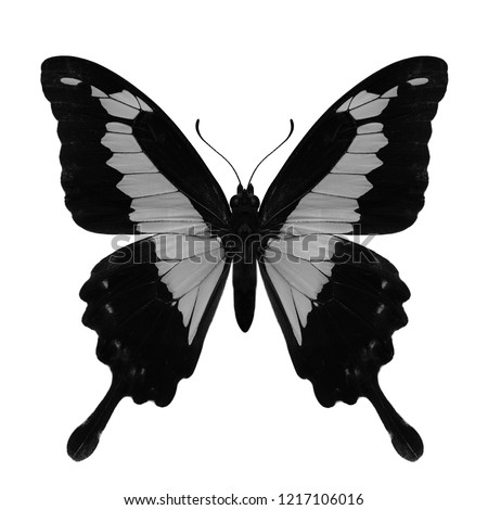 Apple-green or green-banded swallowtail butterfly in colorless of black and white scheme, beautiful animal