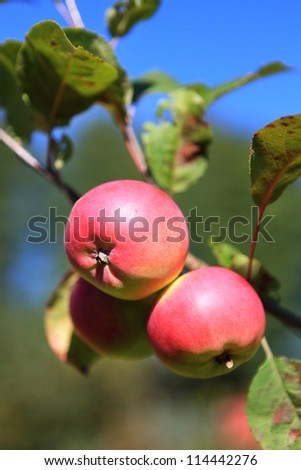 Apple Growing On The Tree. Red And Green Apples. Natural ...