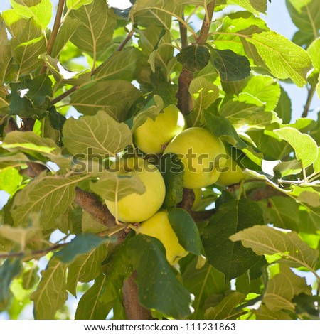Apple is the pomaceous fruit of the apple tree, species Malus domestica in the rose family Rosaceae.