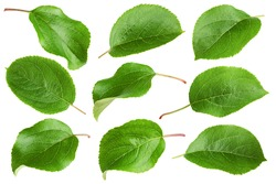apple leaf, isolated on white background, clipping path, full depth of field