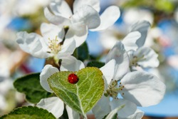 Apple leaf with ladybug in the garden on spring