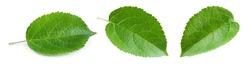 Apple leaves isolate. Apple leaf on white background. Green apple leaves. Fruit leaf. Leaf background.