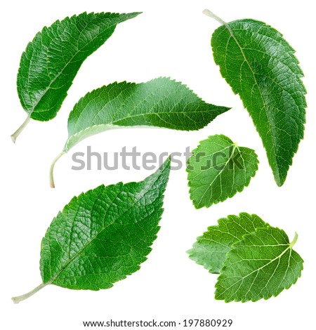 Apple leaves isolated on white. Collection