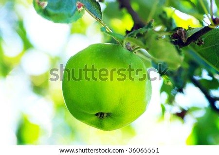 Apple of green on branch. Apple on natural background.